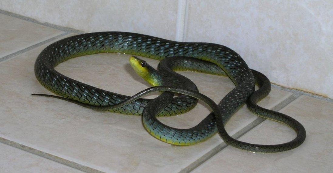 Змії заповзають навіть у міські будинки: як рятуватися?!