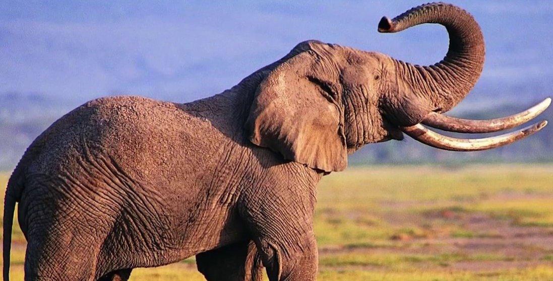 В Африці загадково загинули 350 слонів: підозрюють коронавірус