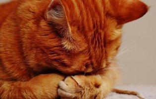 Вперше у Британії домашній кіт заразився COVID-19 від своїх господарів