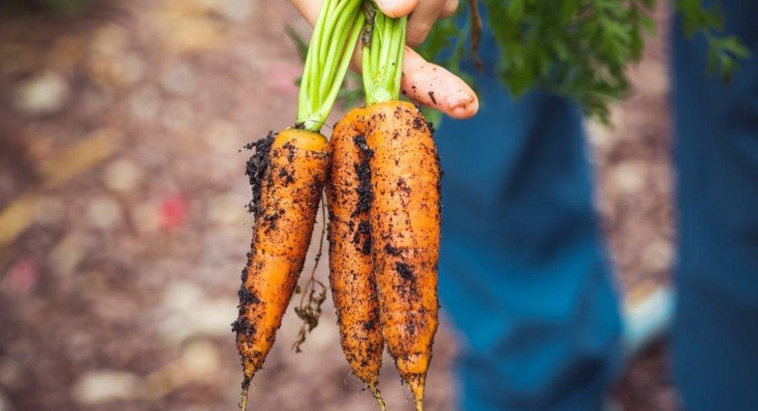 Секрети висівання моркви в серпні
