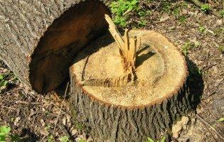 Волинянин ненароком вбив товариша, коли вони незаконно зрізували дерева