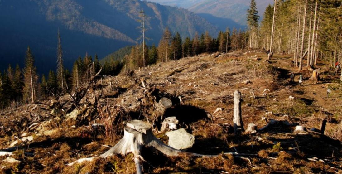 На Волині невідомі зрубали дерев на 6 мільйонів гривень