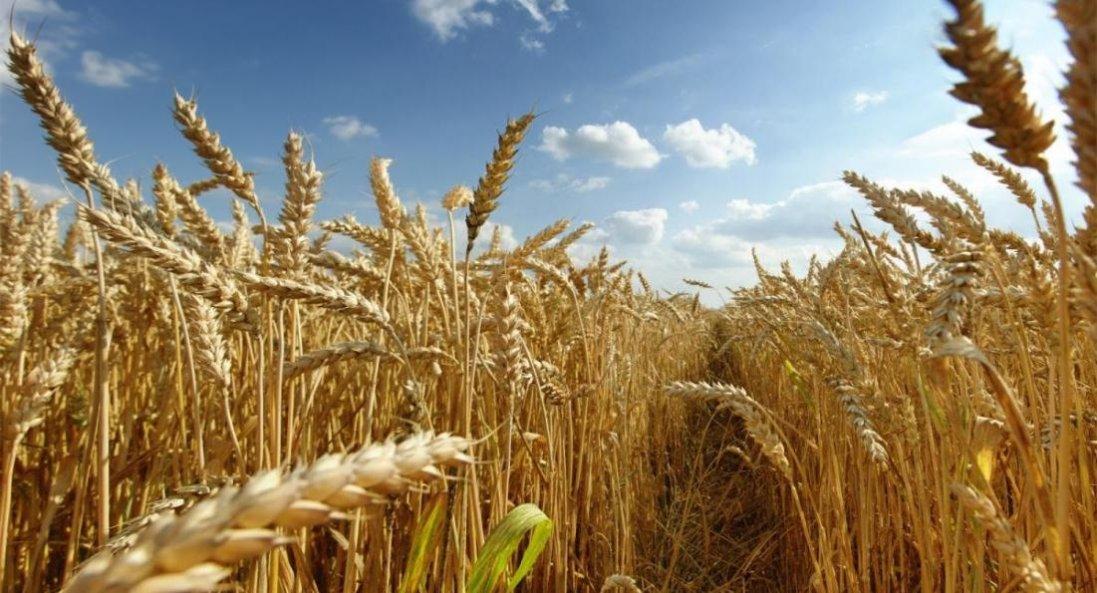 В Україні впаде врожай пшениці
