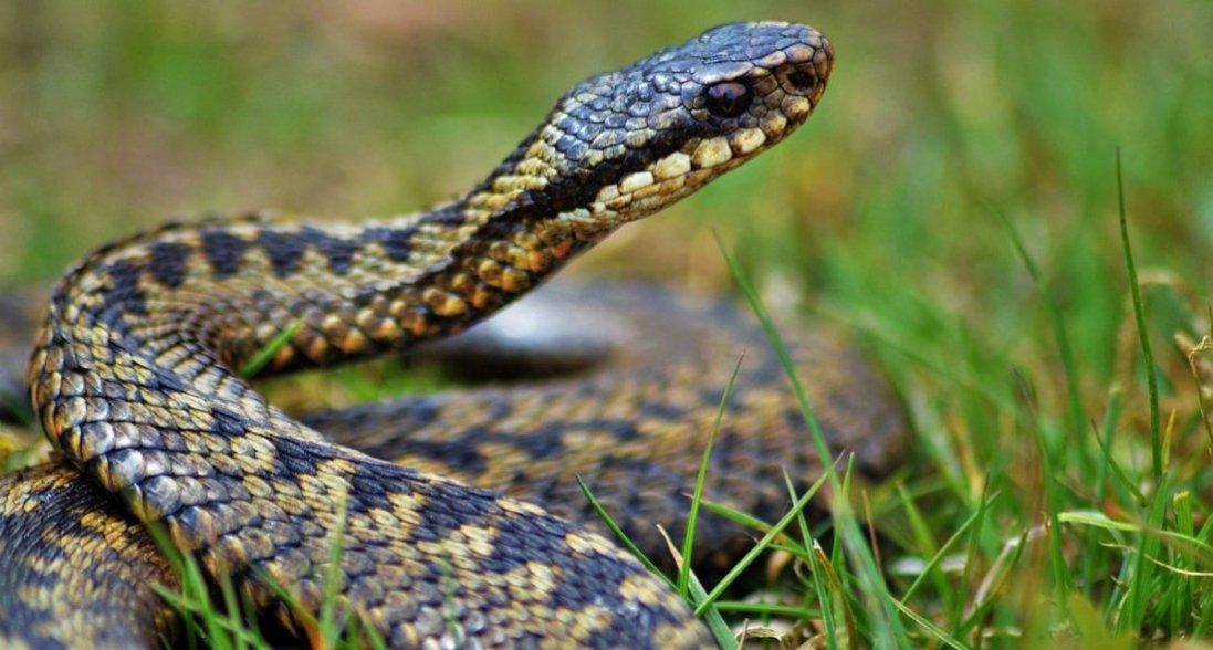На Волині чоловіка вкусила змія поки він збирав гриби
