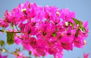 Гостя з Бразилії квітне весь рік і не любить протягів