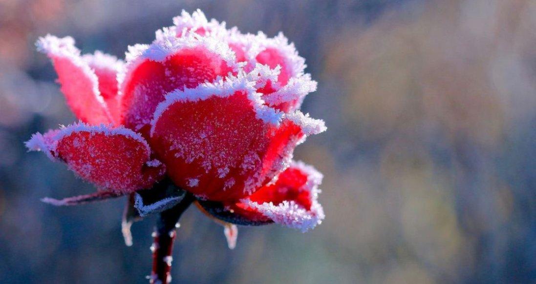 Посеред січня у Луцьку зацвіли квіти