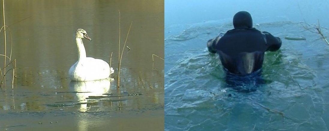 Як у Луцьку з крижаної пастки рятували лебедів