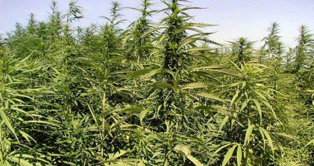 Легалізація канабісу і плантації конопель перетворять нас в «країну наркоманів», — нардеп Гетьманцев