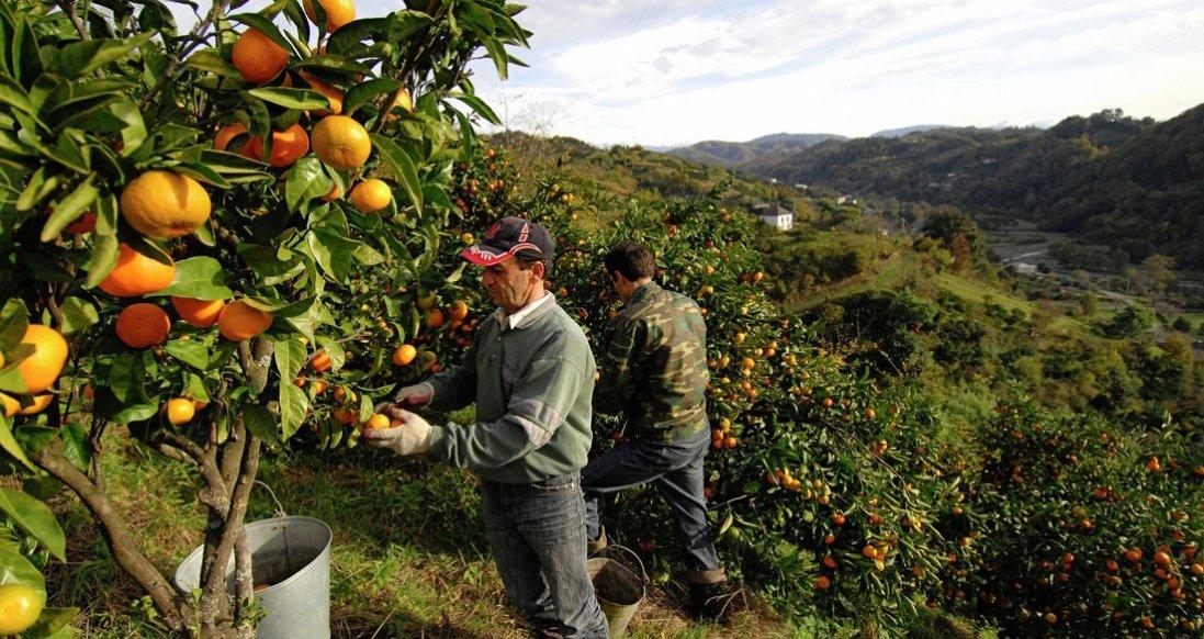 Японці створила робота, який сам збирає фрукти