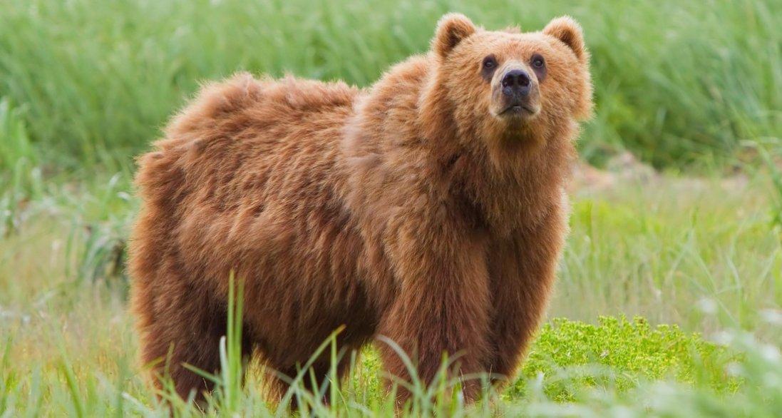 На Алясці ведмідь напав на дівчину поки та була в туалеті
