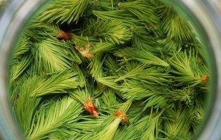 При ангіні та кашлі – прополіс і соснові бруньки