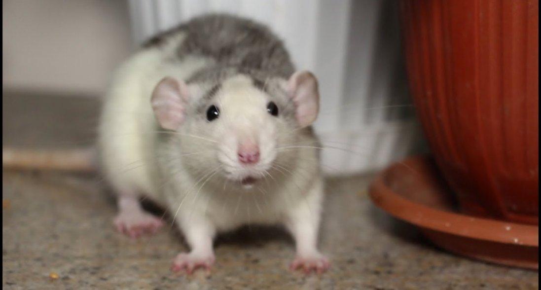 Сниться щур: що означає побачити щура уві сні