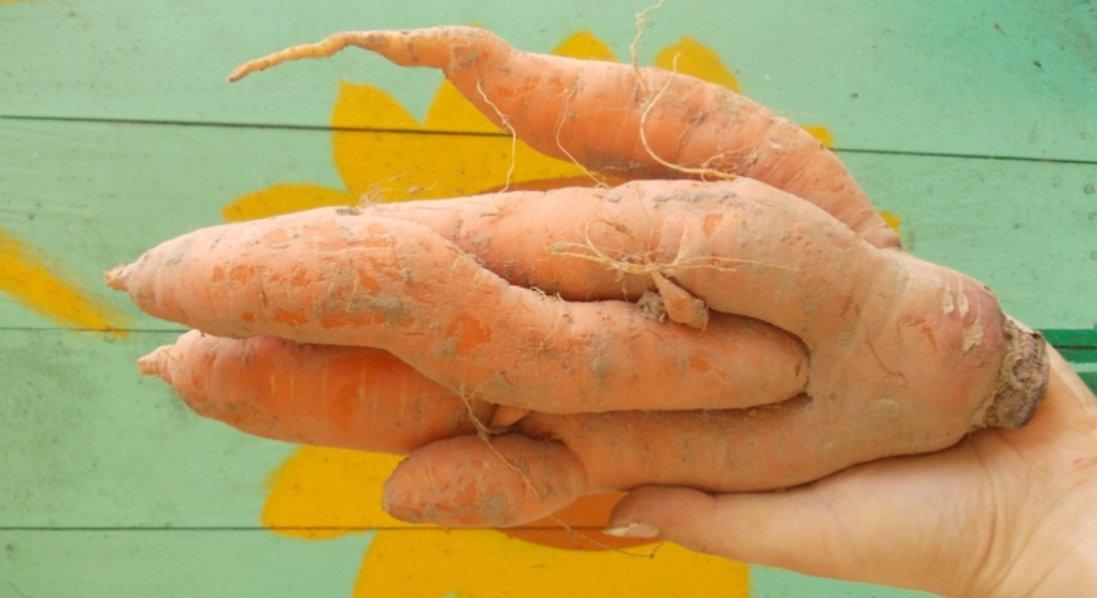 З однієї насінини – сім морквинок