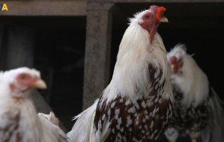 Як виростити курей, які щороку несуть по 200 яєць