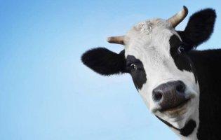 Як корова Ласка стратегічний запас алкоголю знищила
