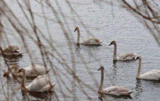 На Волині на ставок у заказнику повернулись лебеді