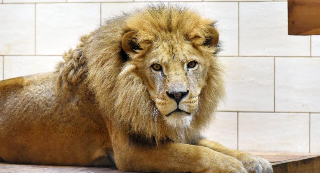 У Луцьку помер лев Нік