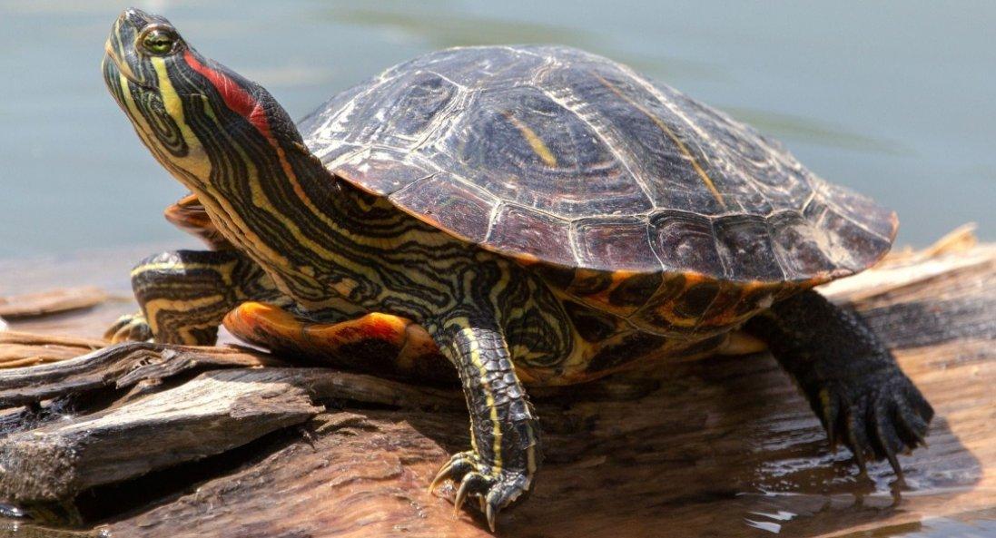 До чого сниться черепаха: що означає цей сон