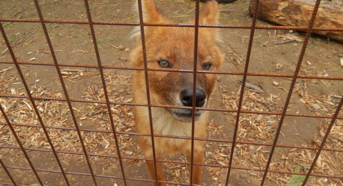 У Луцькому зоопарку оселилися червоні вовки