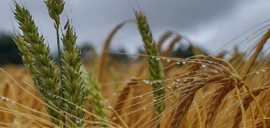 В Україні через прекрасні погодні умови можемо чекати на хороший врожай