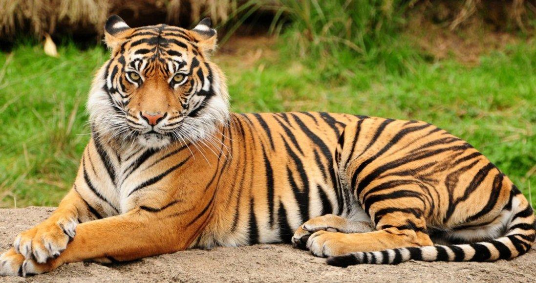 Сниться тигр: які капості готують вам вороги