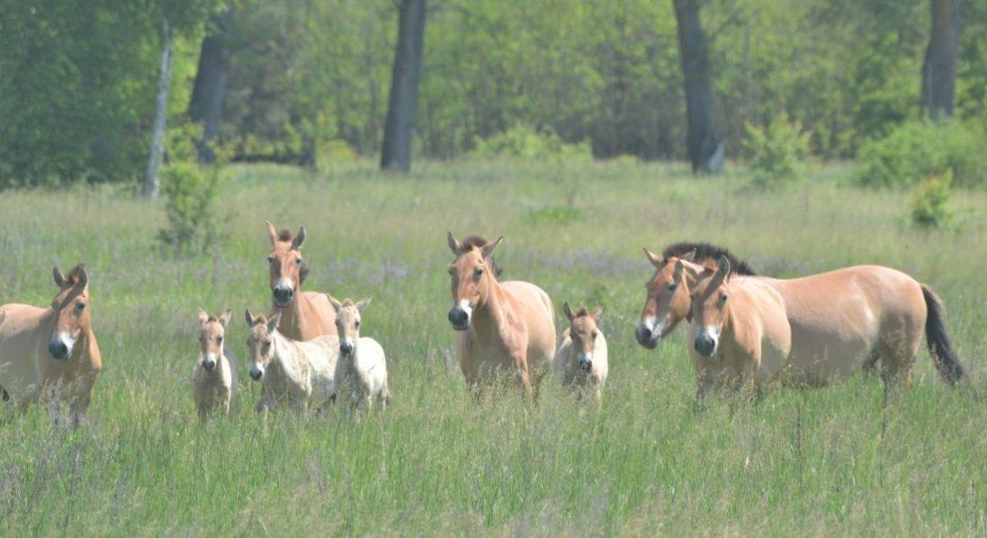 У Чорнобилі народилися рідкісні коні: опубліковані фото