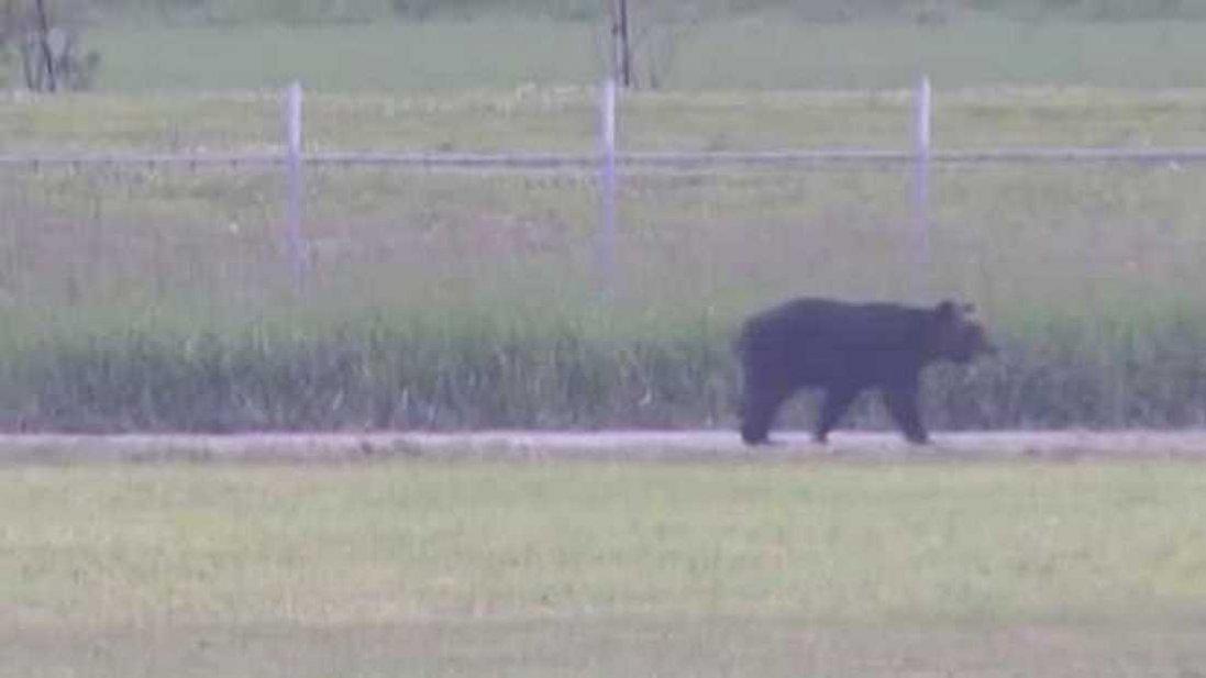 Японським містом розгулював величезний ведмідь: поранив 4 людей