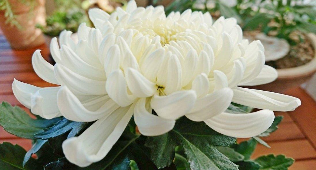 Сниться хризантема: коли цей сон віщує приємні справи