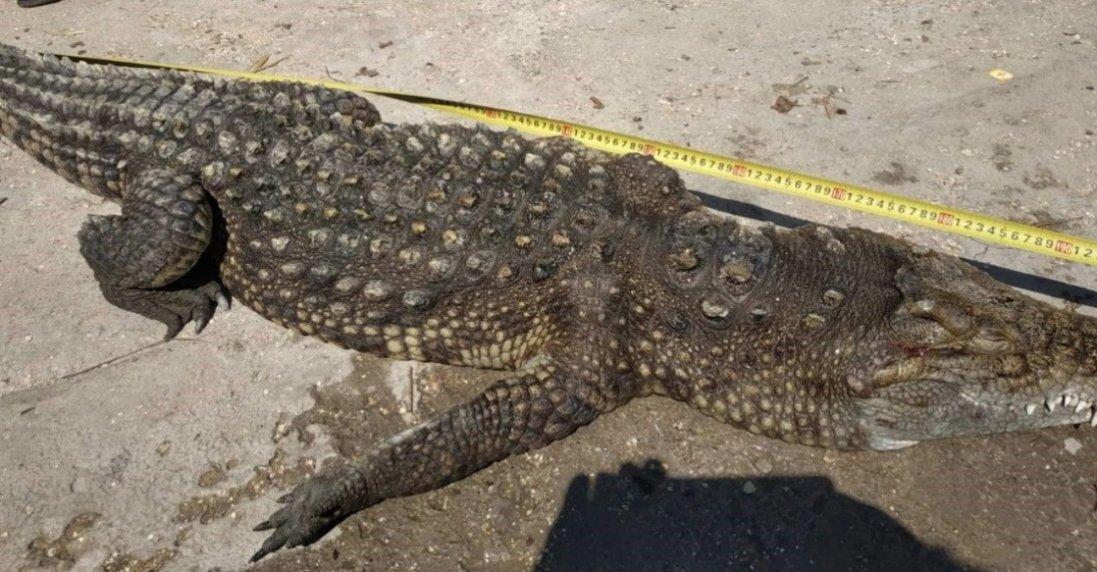 На Арабатській Стрілці з озера витягли крокодила