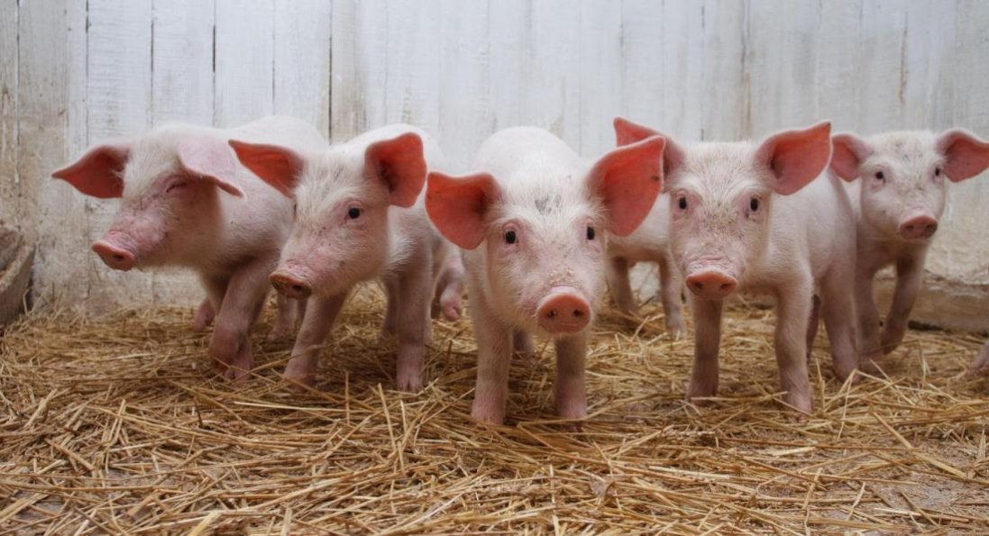 У Запорізькій області свині хворіють на африканську чуму: одна тварина вже загинула