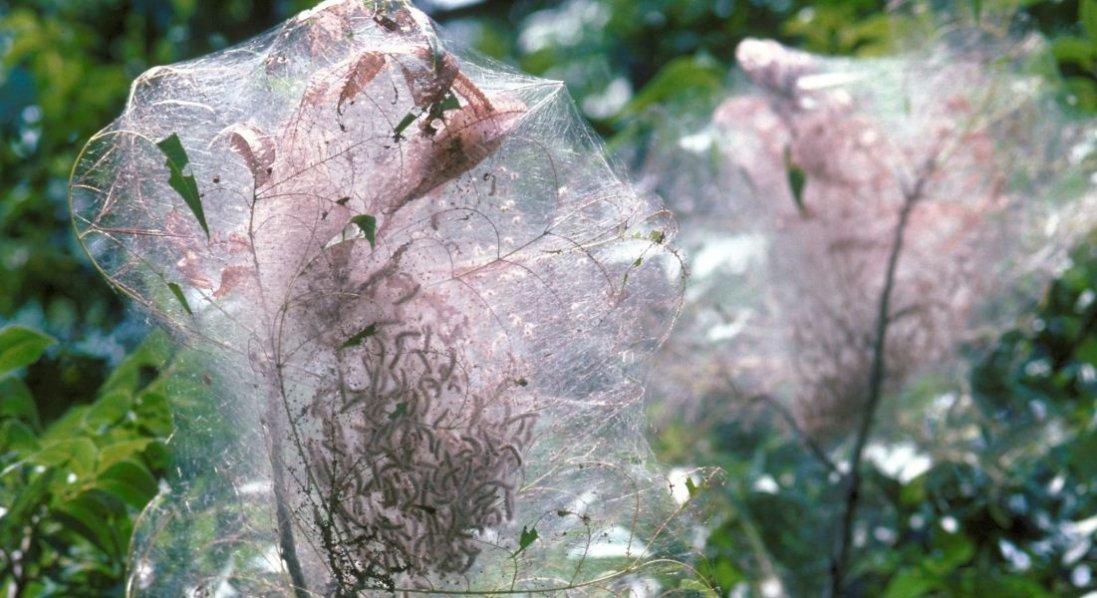 У Луцькому районі - нашестя білого американського метелика: запроваджують карантин
