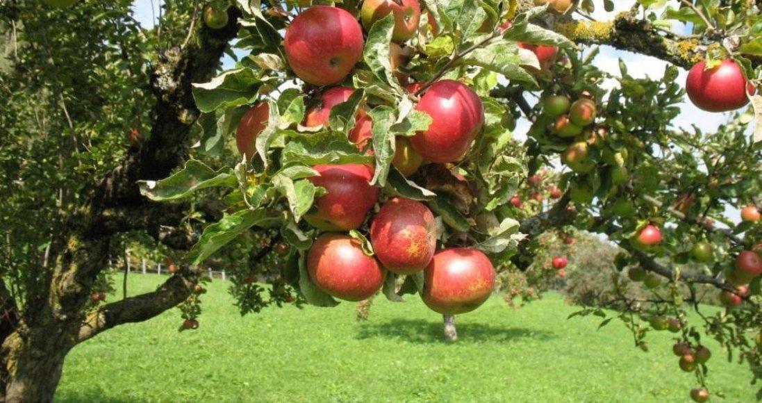 Хто може померти, коли сниться яблуня