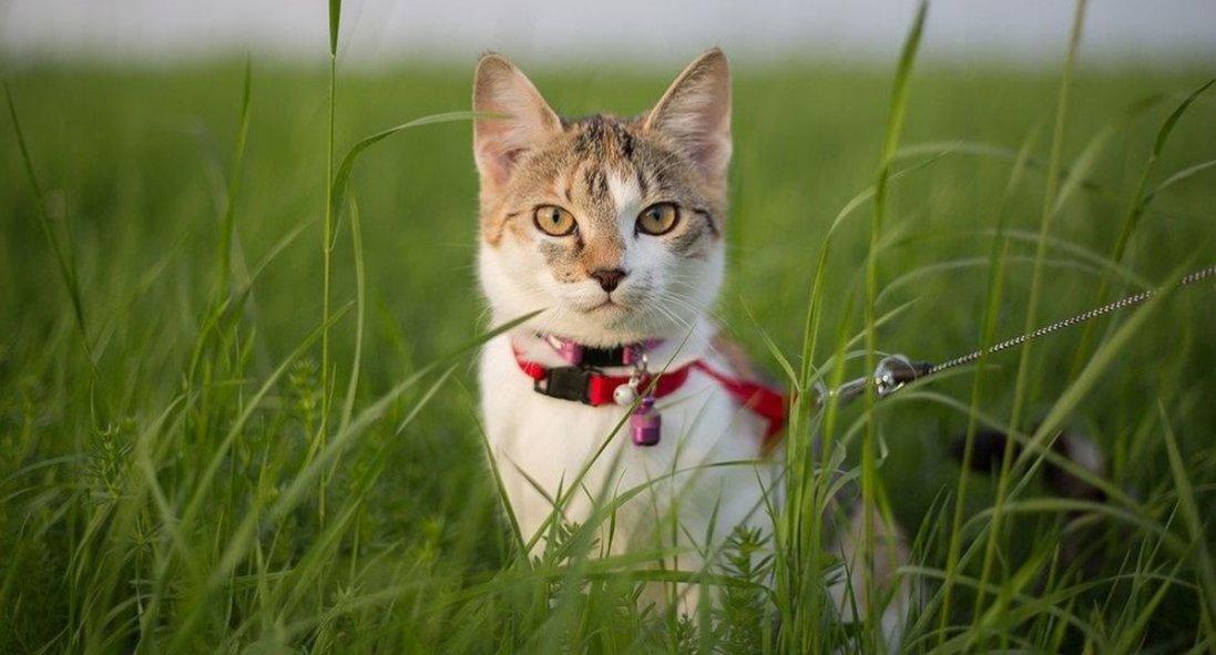Особенности выгула кошек